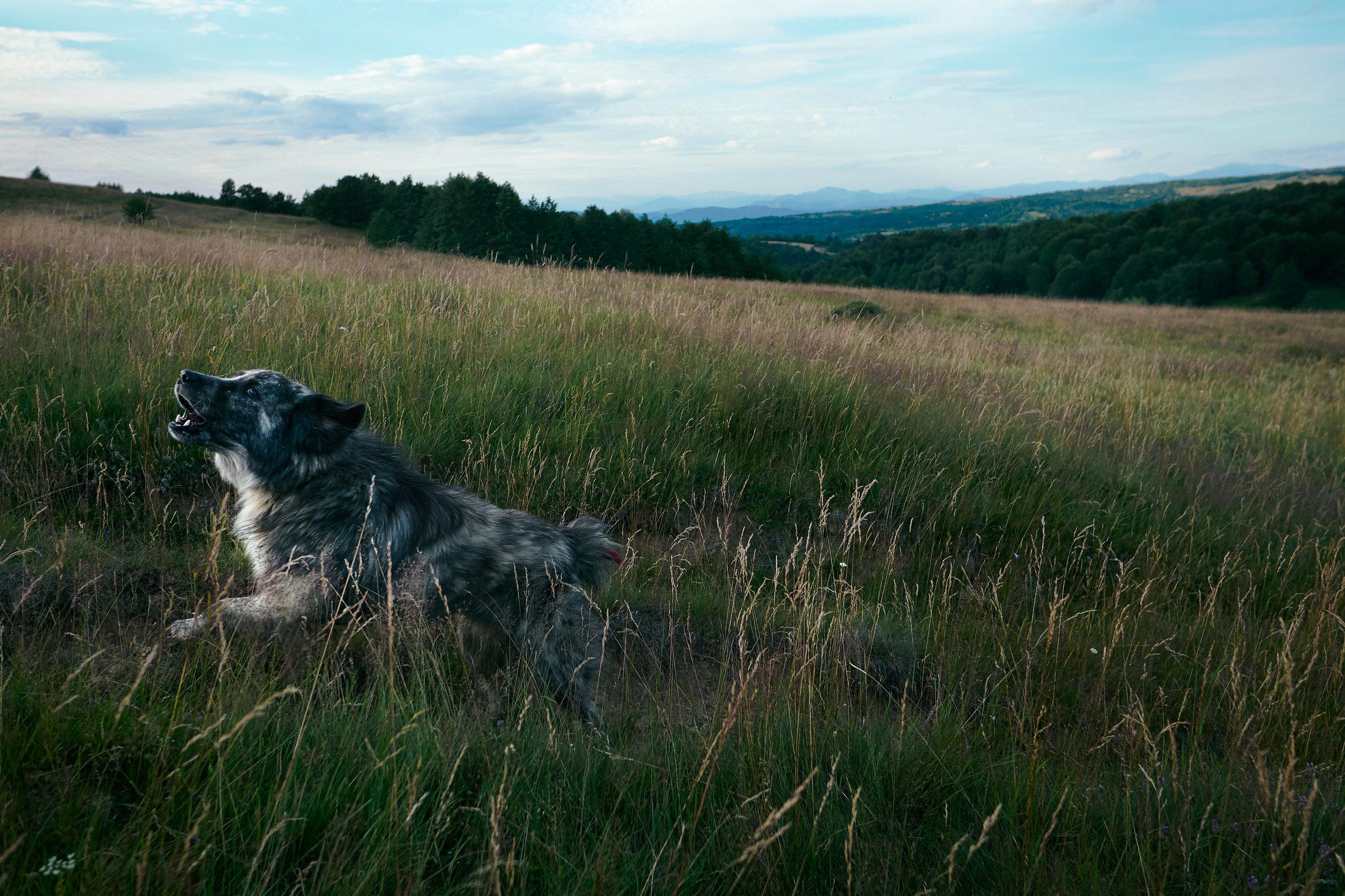 Maramures-Romania-dog-chasing-the-car