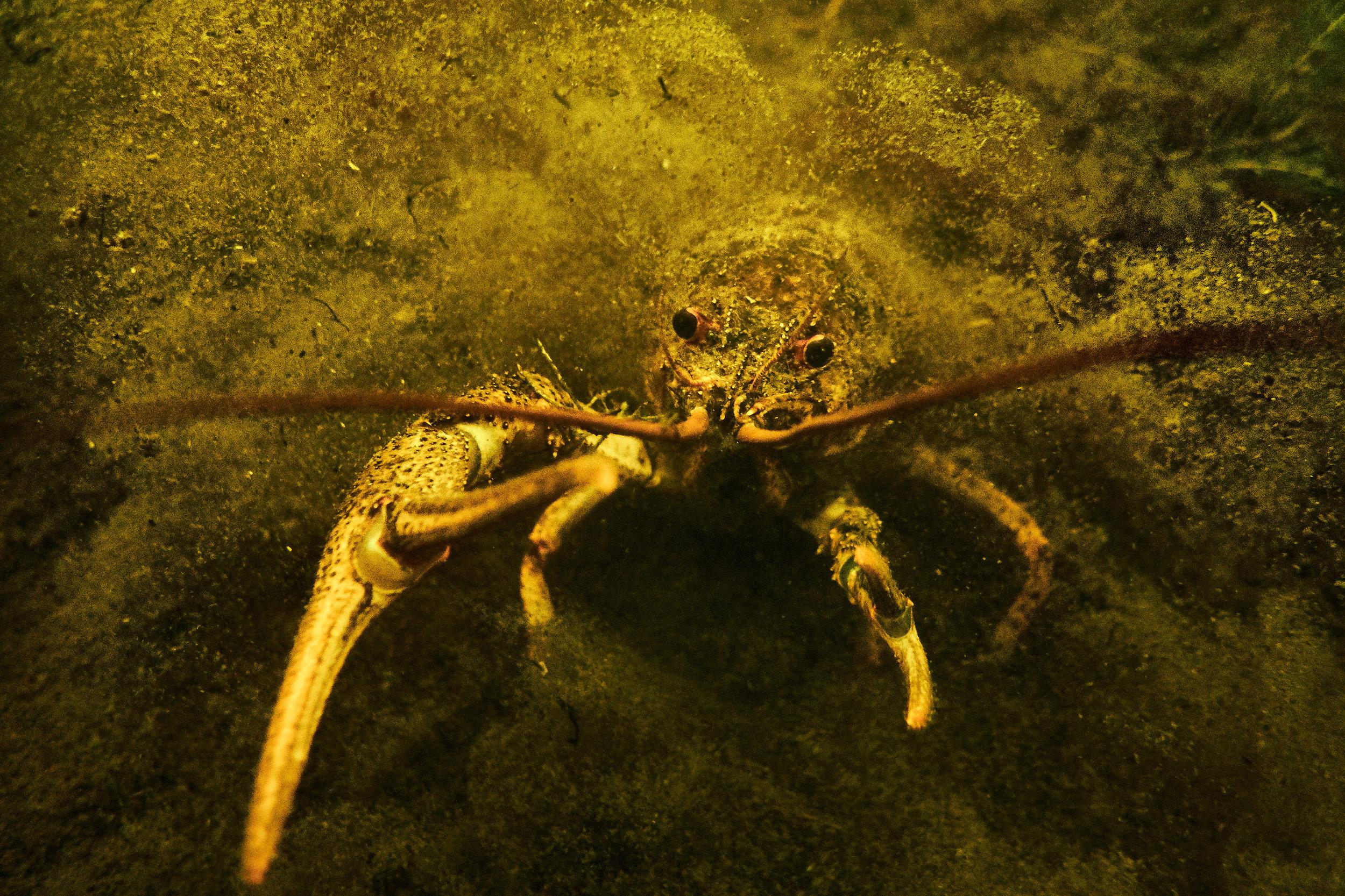 Crawfish-Braslav-lake-Belarus
