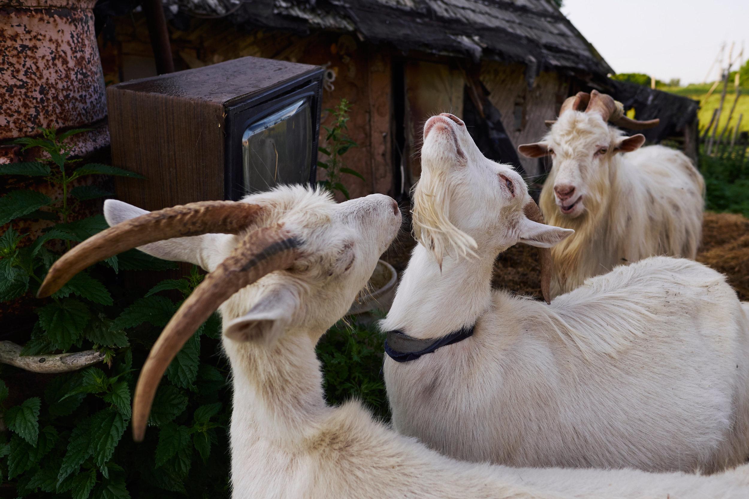 goats-and-tv-Braslav-Belarus