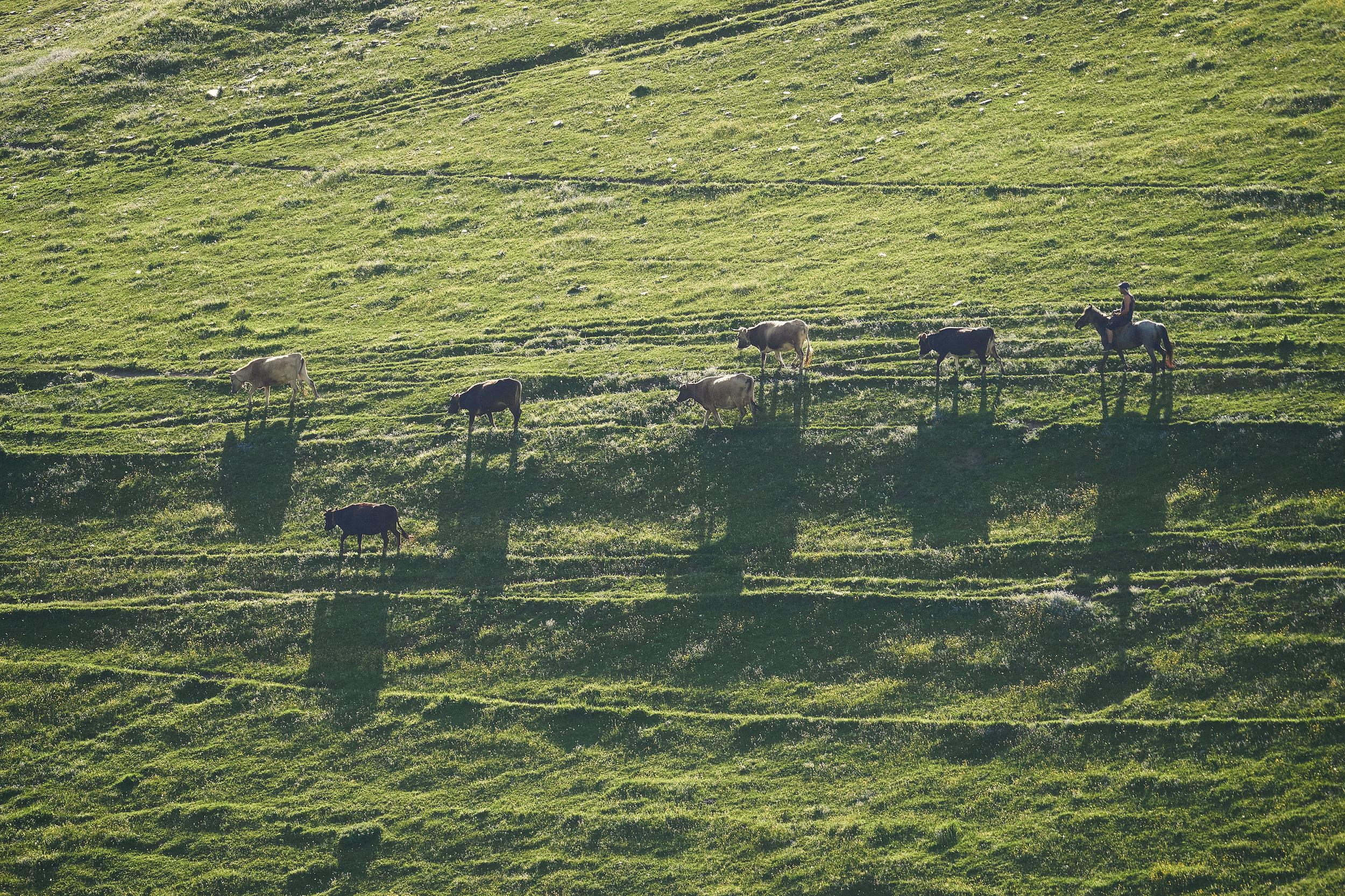 Svaneti-Ushguli-cattle-back-home