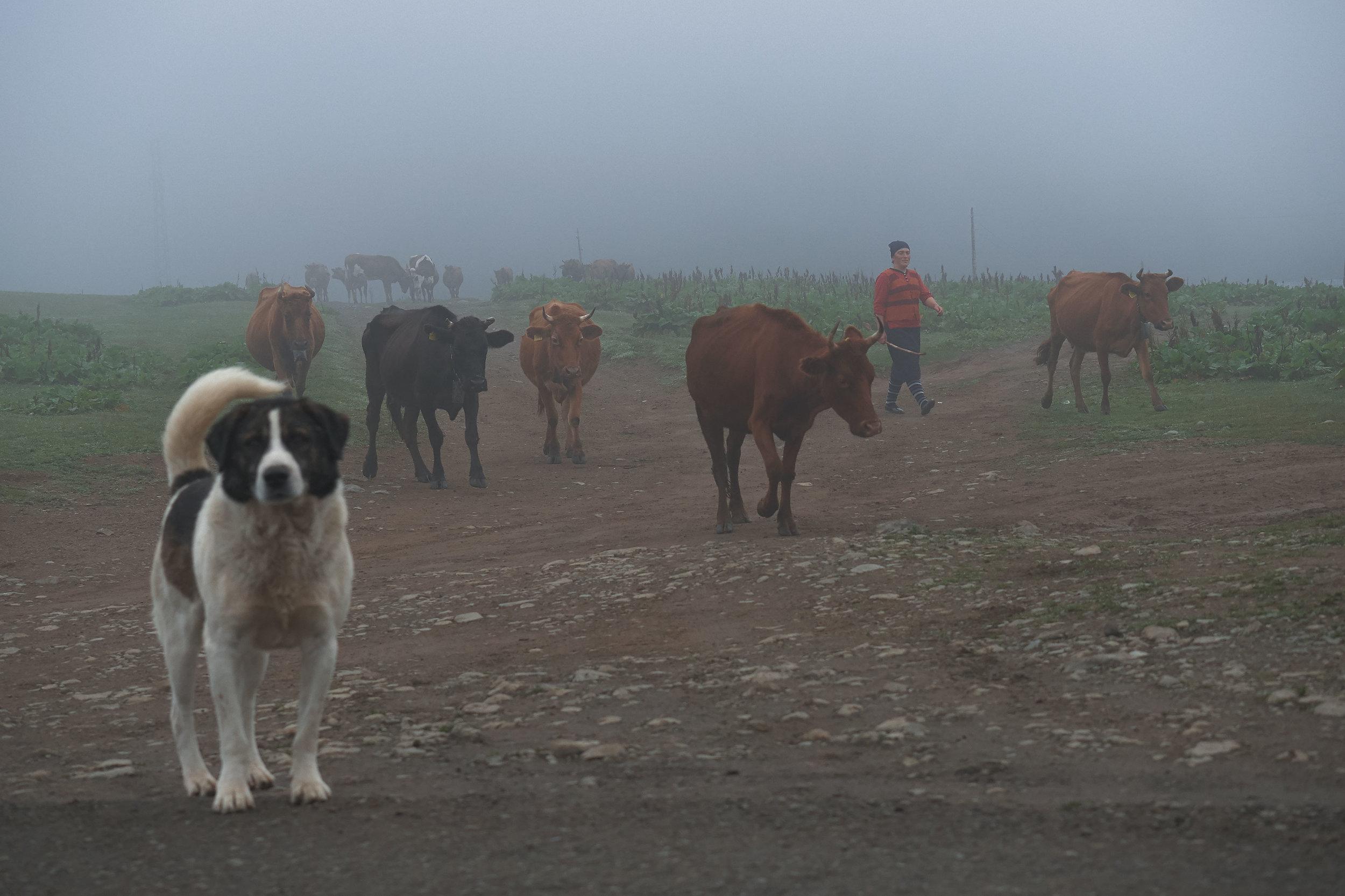 Bakhmaro-Georgia-dog-cows