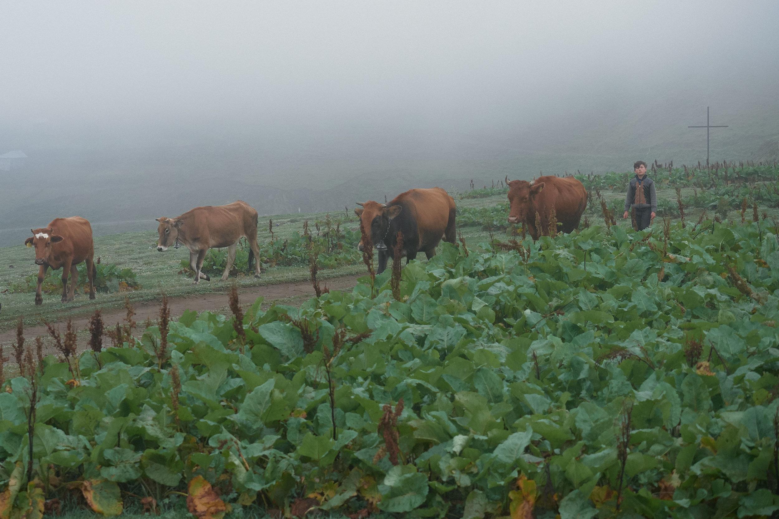 Bakhmaro-Georgia-shepherd-boy-with-cows