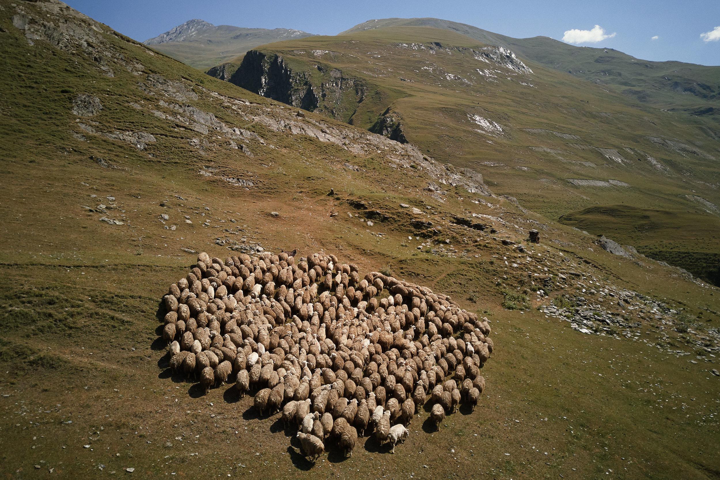 Tusheto-Georgia-Sheep-herd-close-together