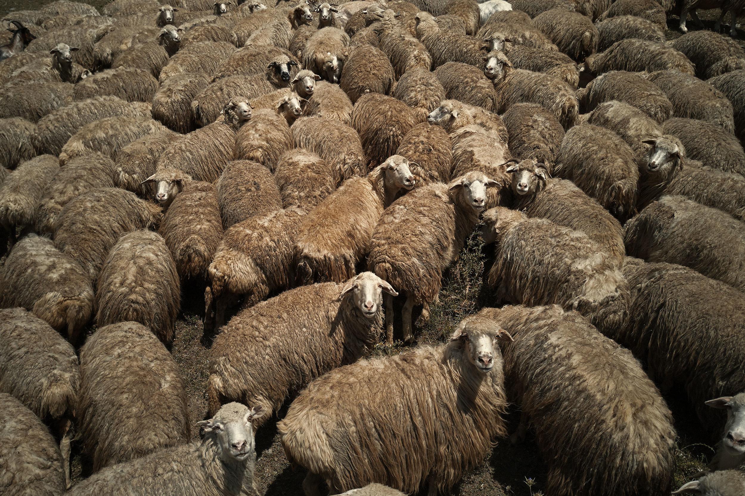 Tusheti-Georgia-sheep-from-drone-close-up