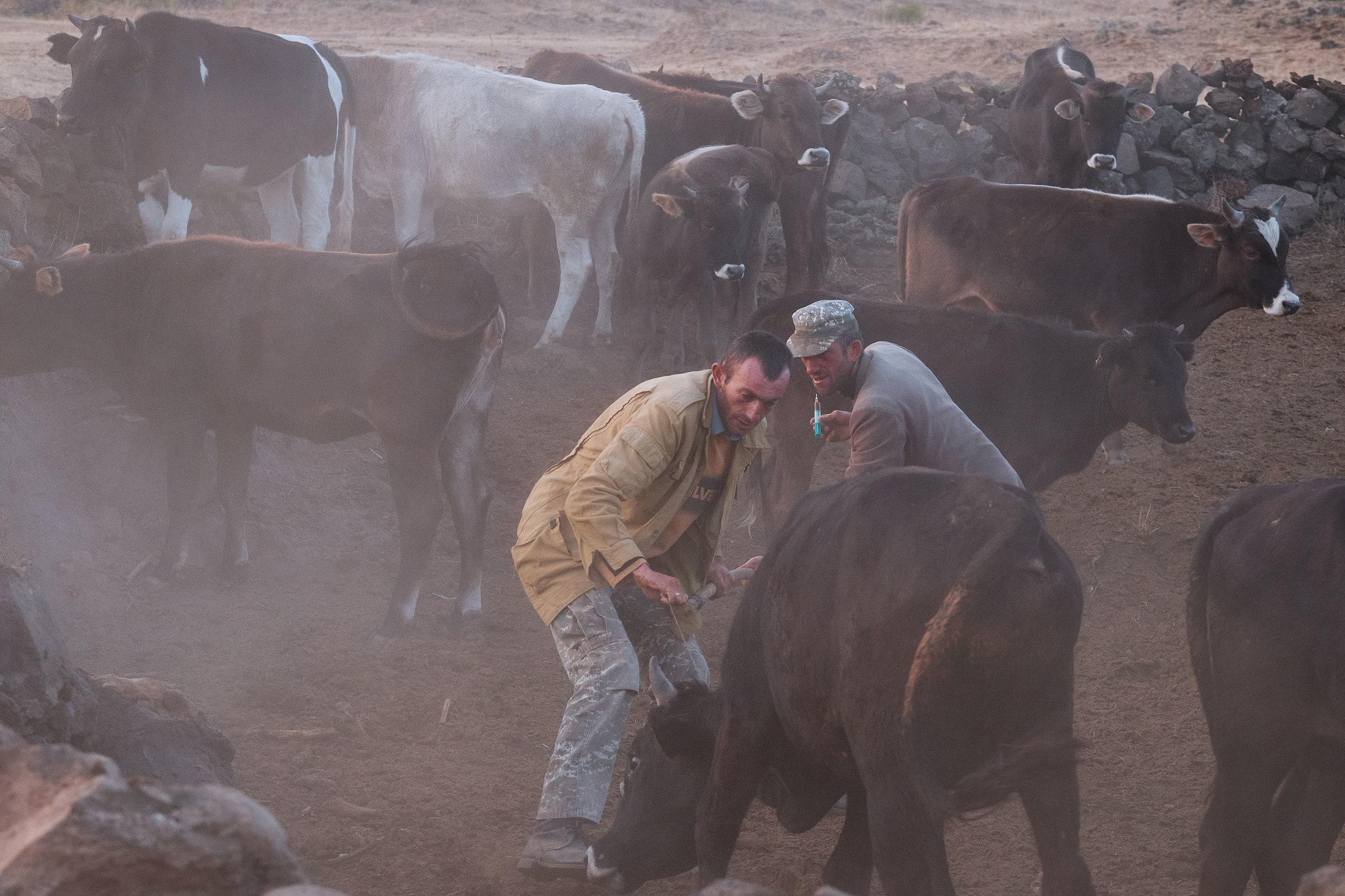 Armenia-Vayots-Sar-syringe-bull