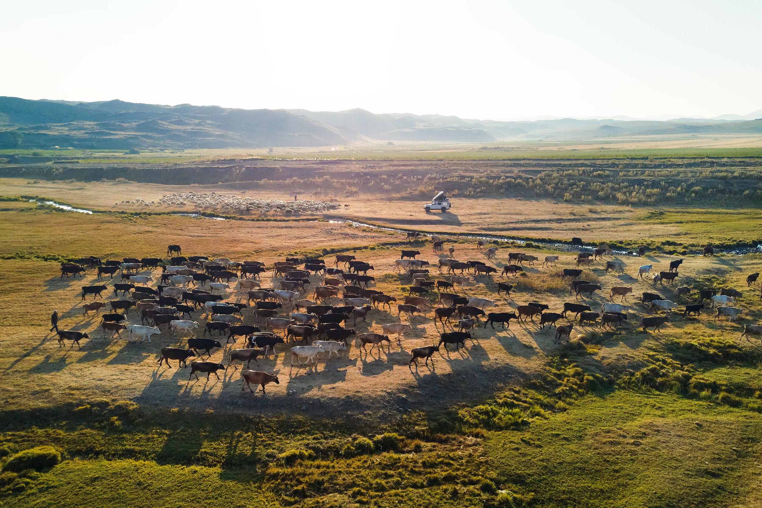 Armenia-mountains-car-cows