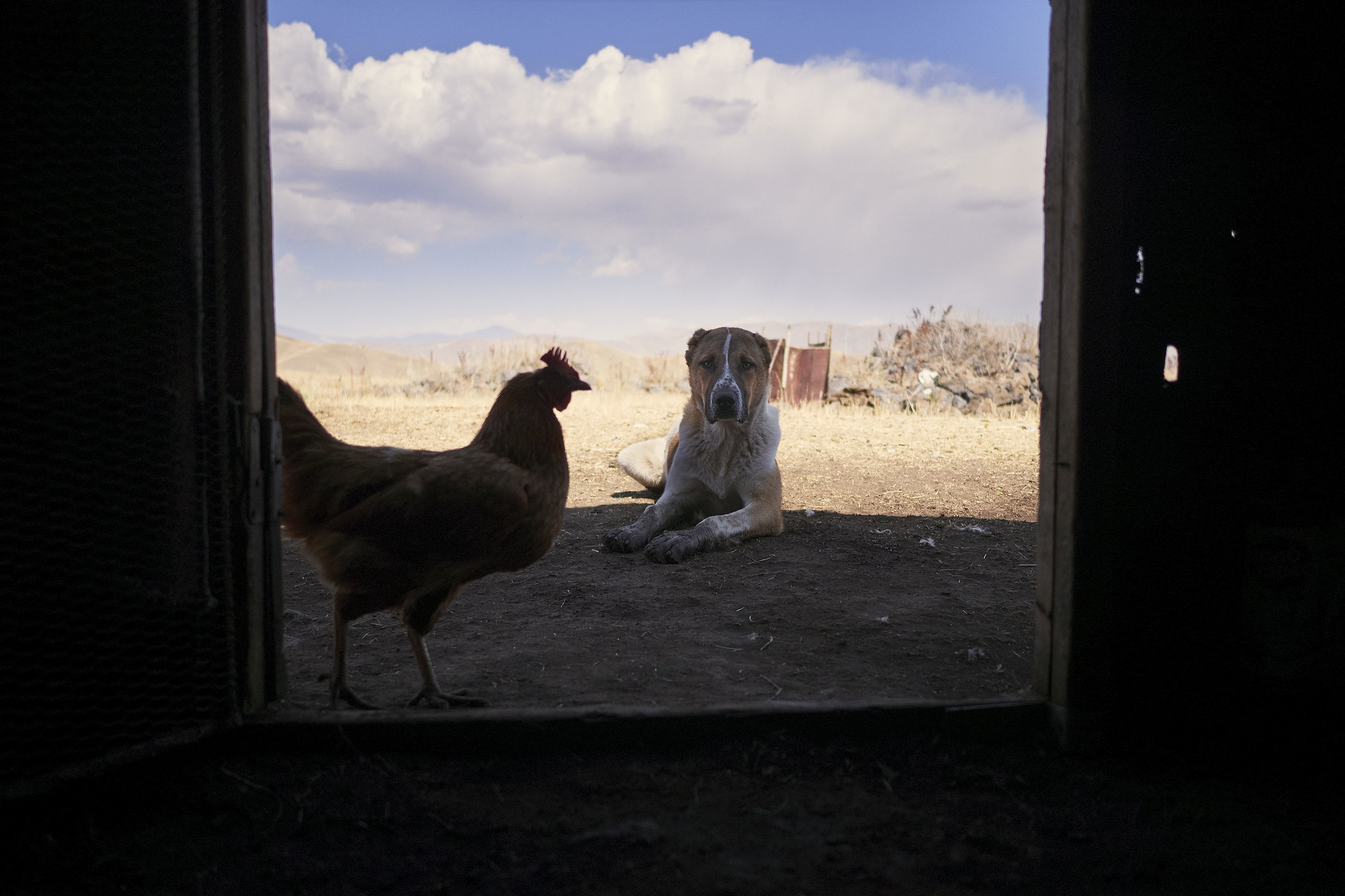 Armenia-Vayots-Sar-shepherd-dog-rooster