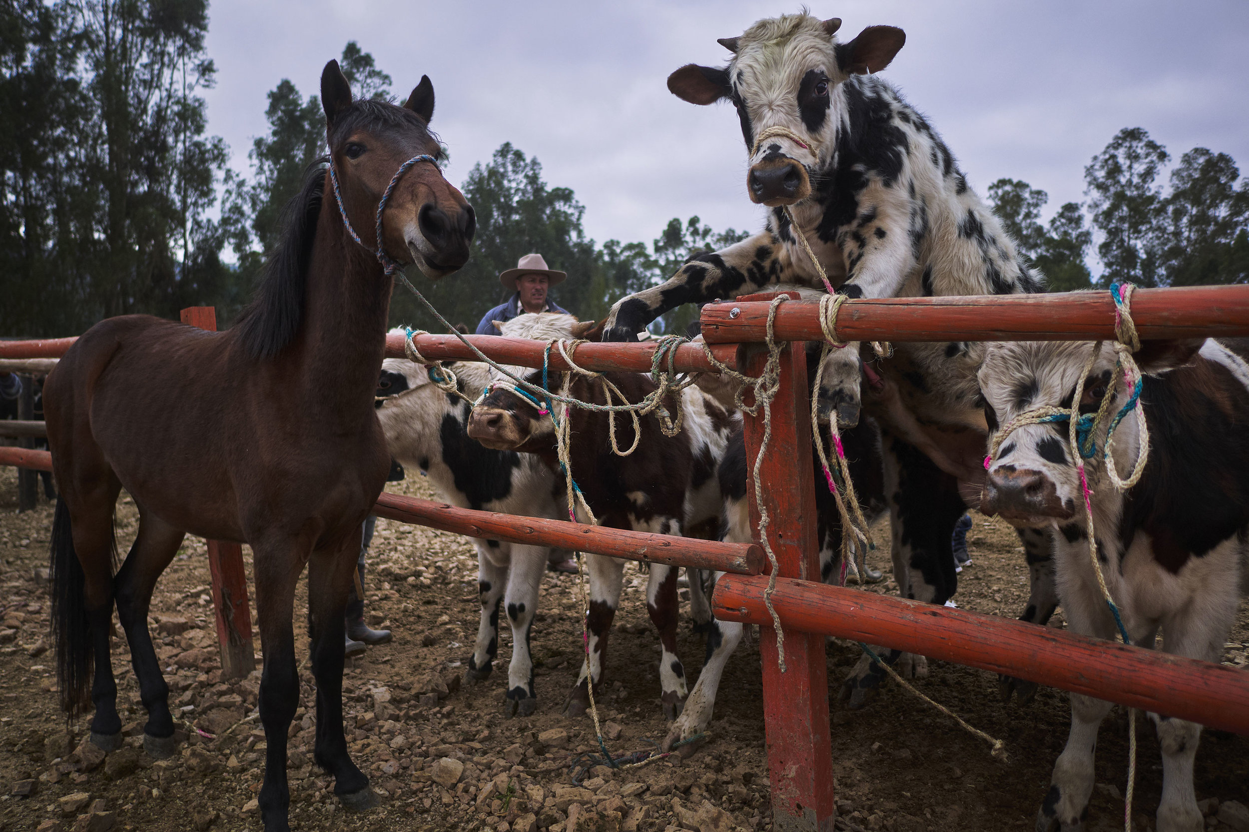 Horses and cows for sale at animal market in Sogamoso, Boyaca, Colombia_1140670.JPG