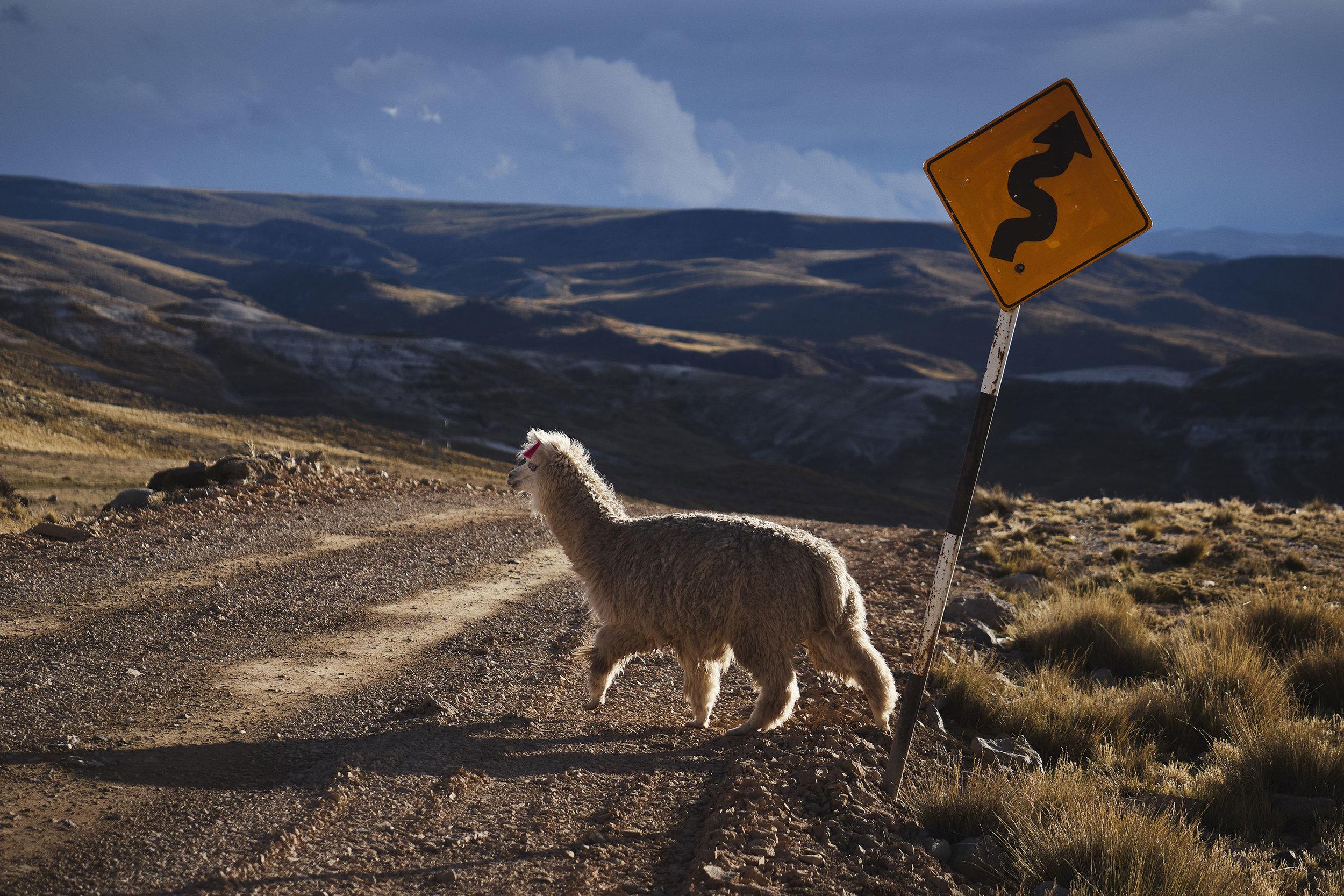 Lama crossing the road Peru