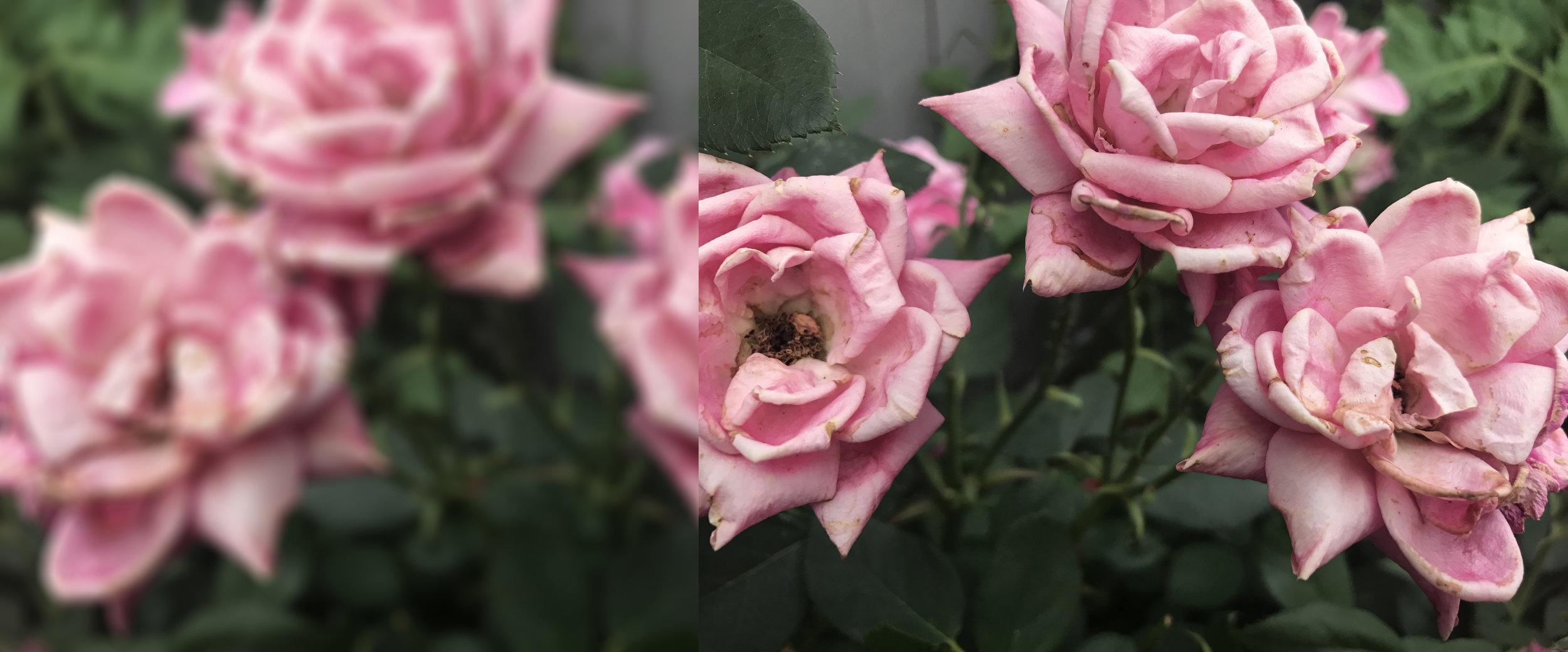 Three blured clear roses diptique 2.jpg