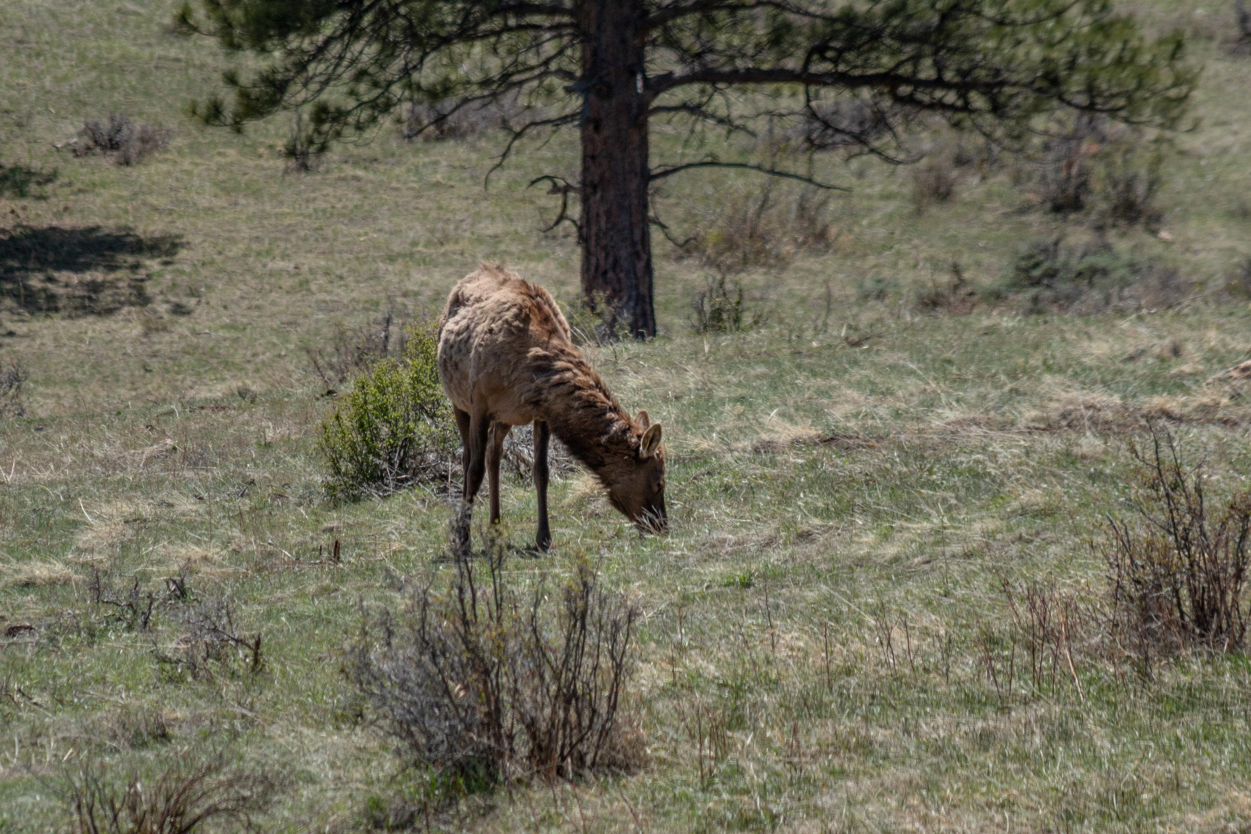 An Elk.
