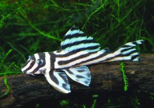 Hypancistrus zebra (Zebra Pleco)