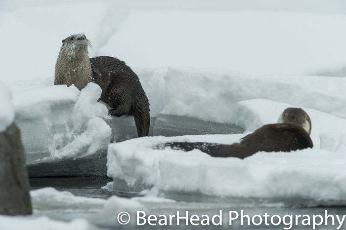 River Otters clean themselves on a snowbank on the river.