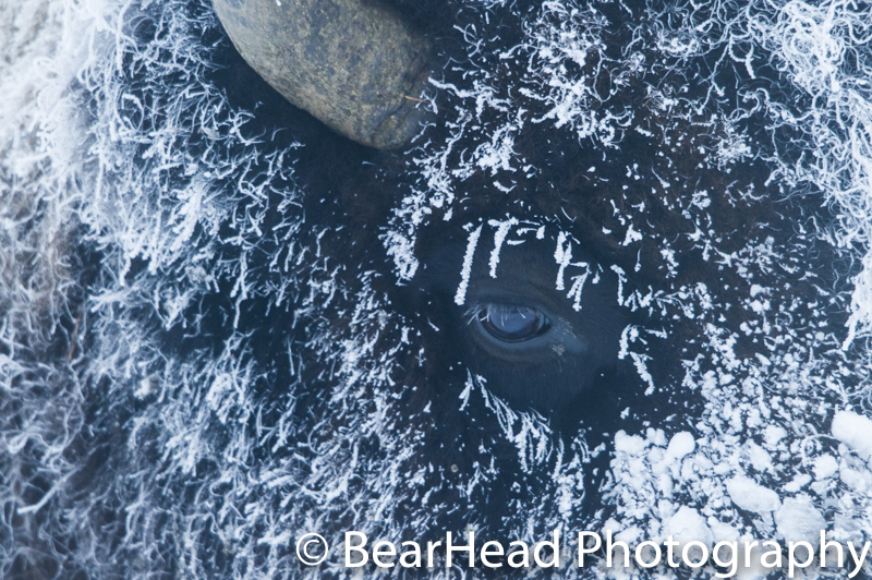 A bison heavily covered in frost moves my way on a -25 degree morning.