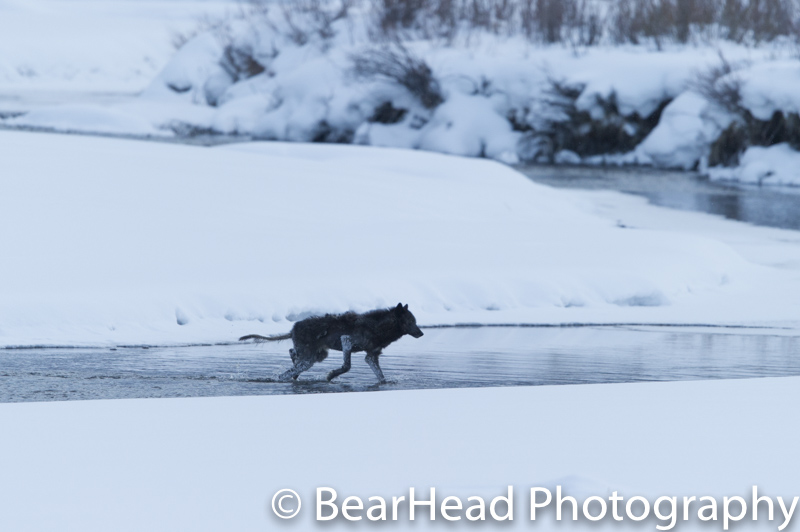 A black mangy wolf crosses a river in the winter.