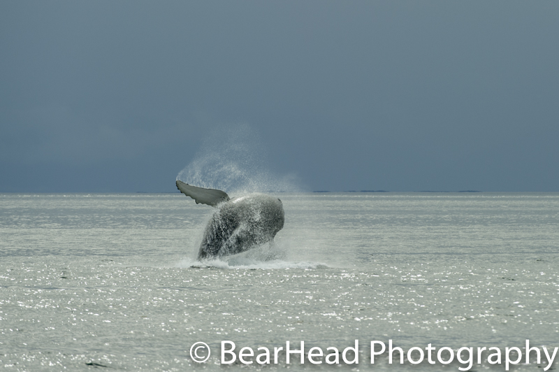 A humpback whale jumping!
