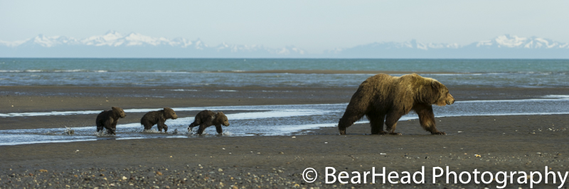 A mother and her 3 cubs move across the tidal flats on a perfect evening.