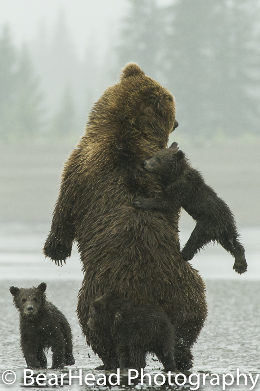 Mother bear tries to fling one of her cubs off her back.