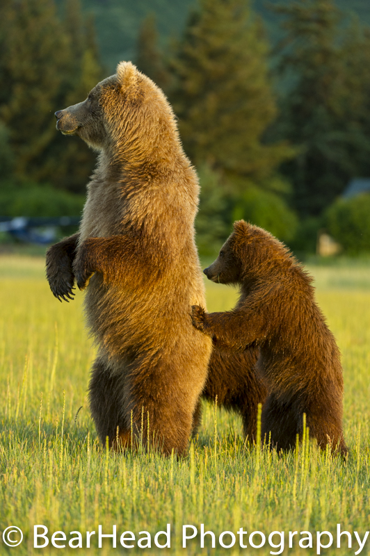 A mother and her cub stand to look at a male bear nearby.