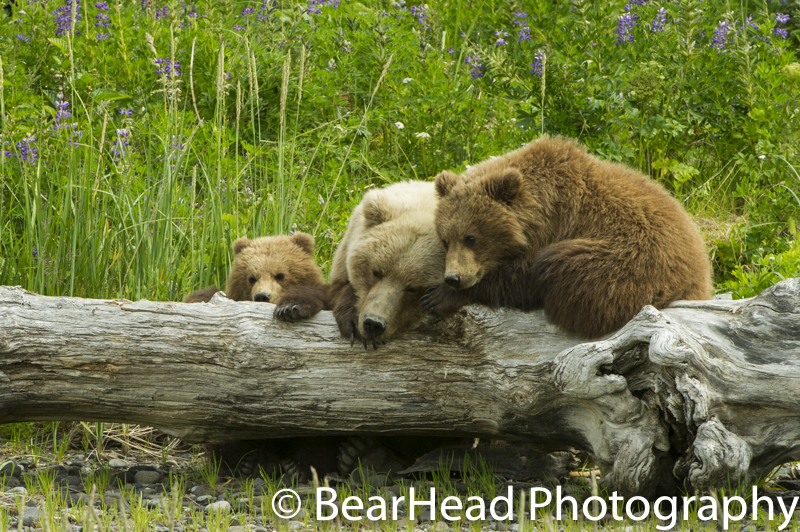 A mother and her cubs sleep together peacefully on a log.