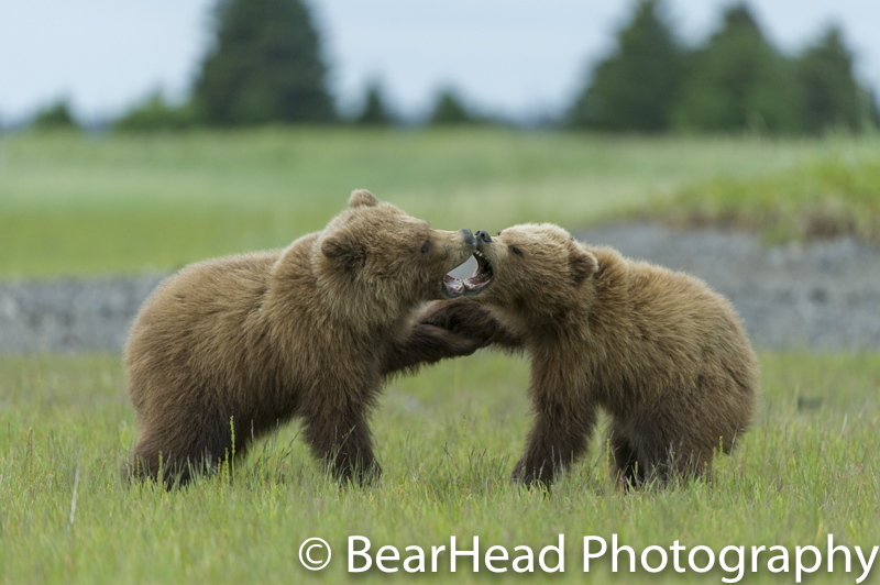 Two yearling cubs go after one another.