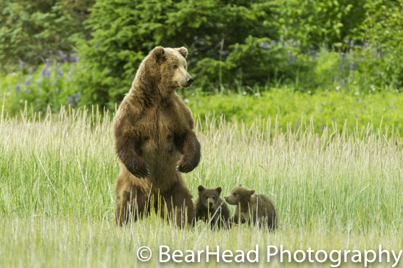 Mother bear stands to make sure there is no threat to her cubs.
