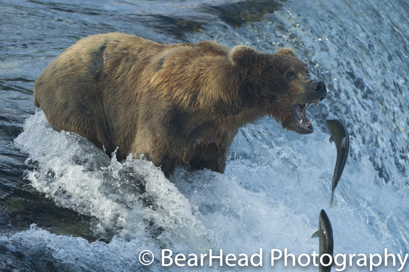 A brown bear about to catch a fish at Brooks Falls in Katmai.