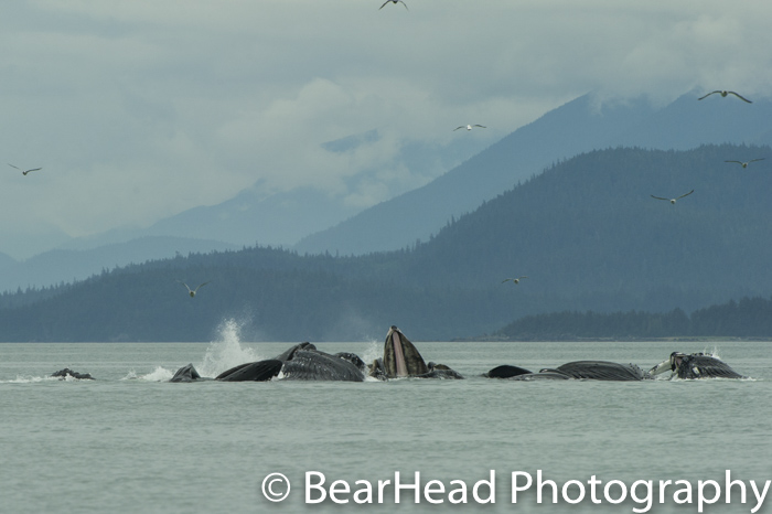 A group of humpback whales bubble net feed.