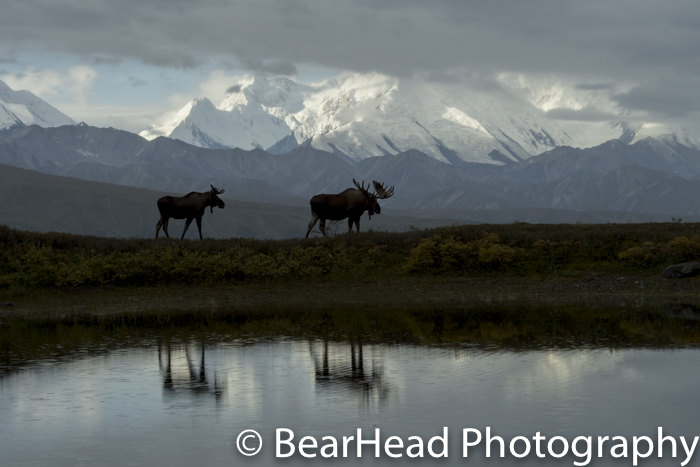 The same two bull moose silhouetted, and reflected against the backdrop of the Alaskan Range.