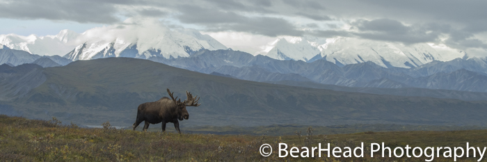 A bull moose walk the ridge on a beautiful day in Denali.