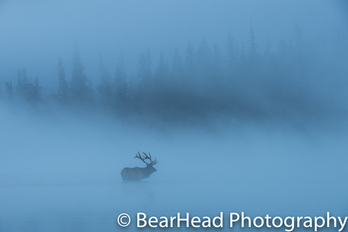 A bull elk stands in a river surrounded by fog and looks for his females.