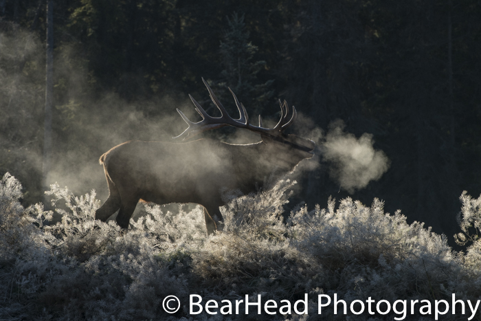 On a frosty morning, a bull elk releases a lot of steam.