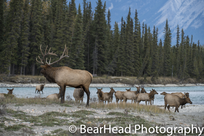 A bull elk looks over his harem as they cross the river.