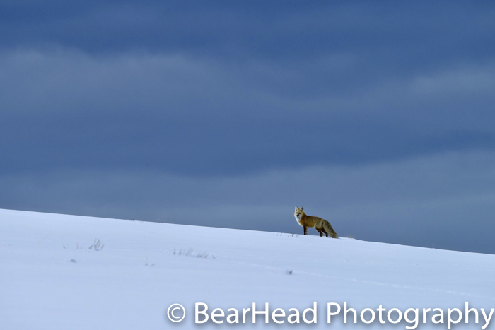 A red fox beautifully set against a dark sky.
