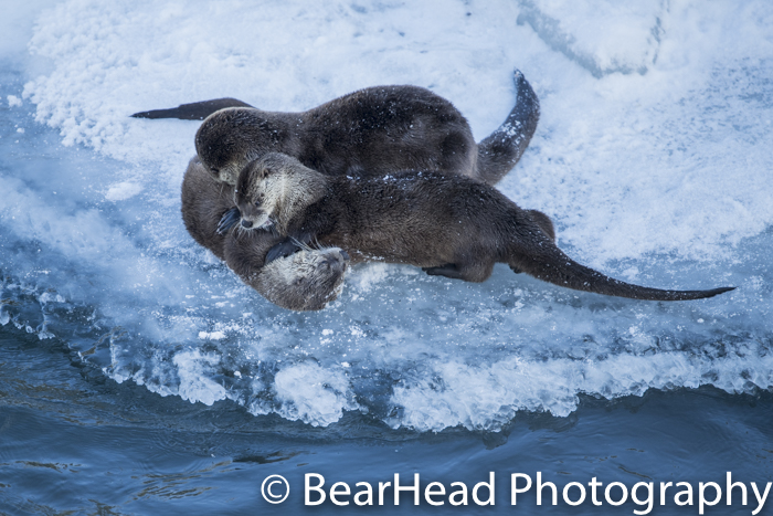 A family of river otters wrestle on the edge of the ice.