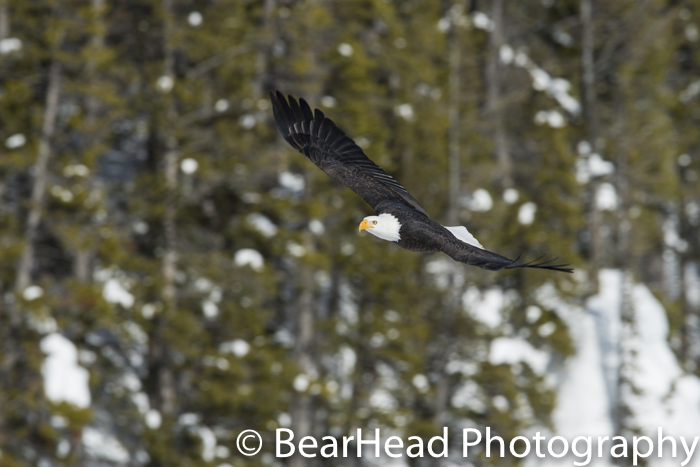 One of my best bald eagle shots in Yellowstone ever!