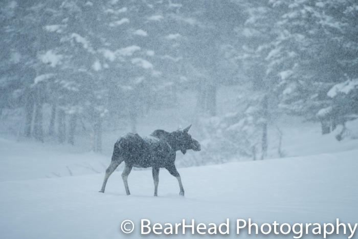A moose moves through a meadow during a heavy snow storm.