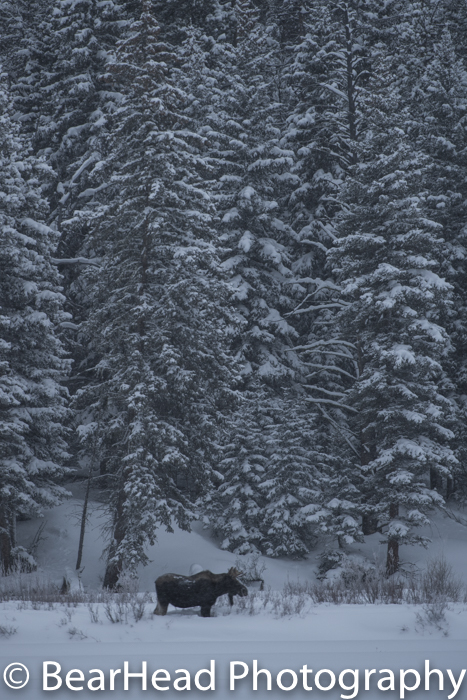 A young bull moose stands in front of heavily snow covered trees.