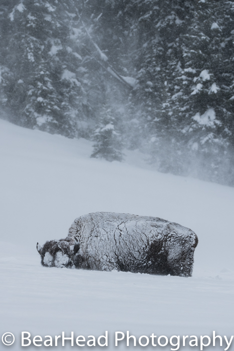 The wind blows snow around this snow covered bison.