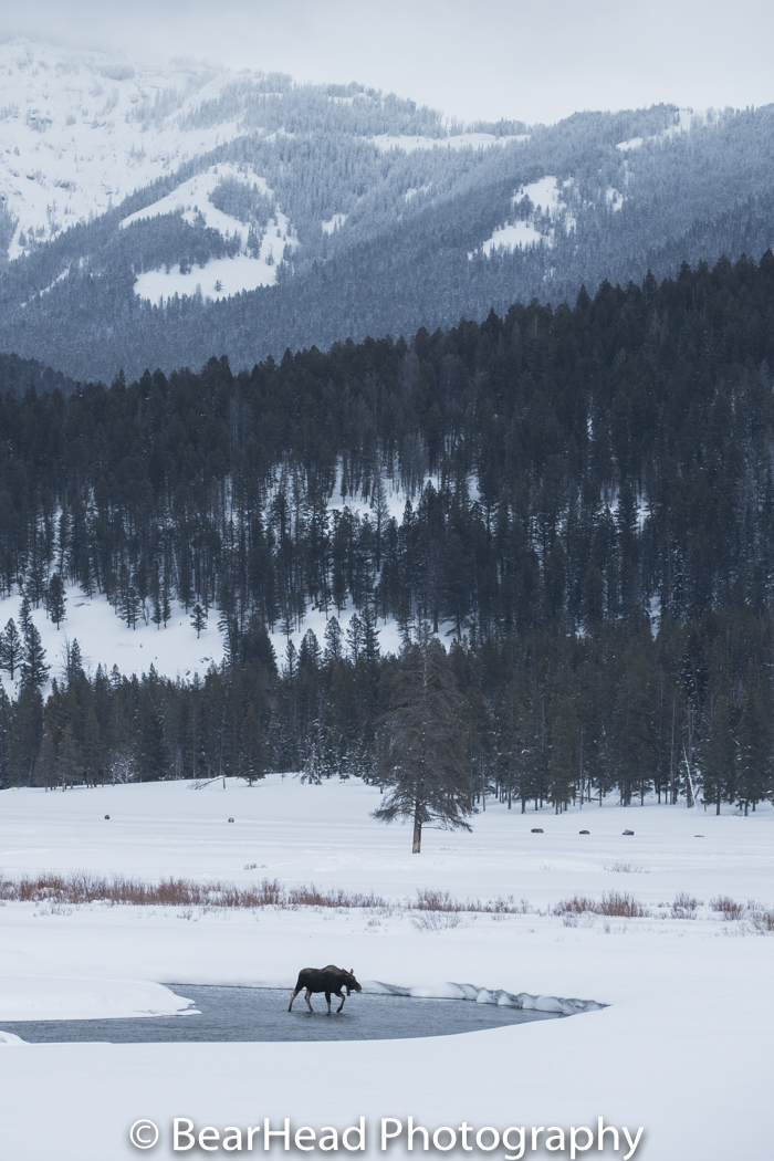 A moose walks across an open river during the winter.