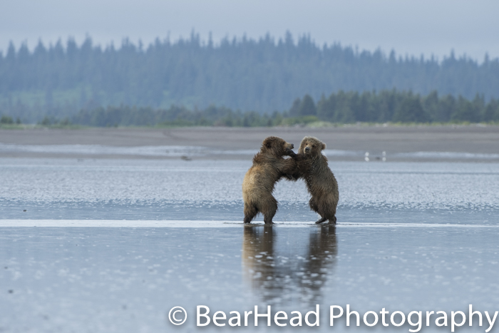 Two cubs stand and play on the tidal flats.