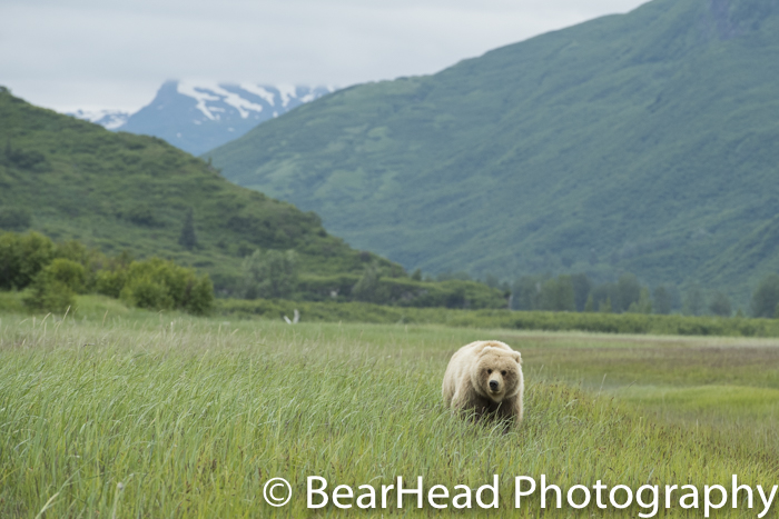 A grizzly bear moves through the Johnson River Valley.