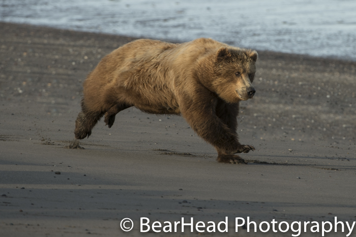 Mother bear runs full out after another bear.