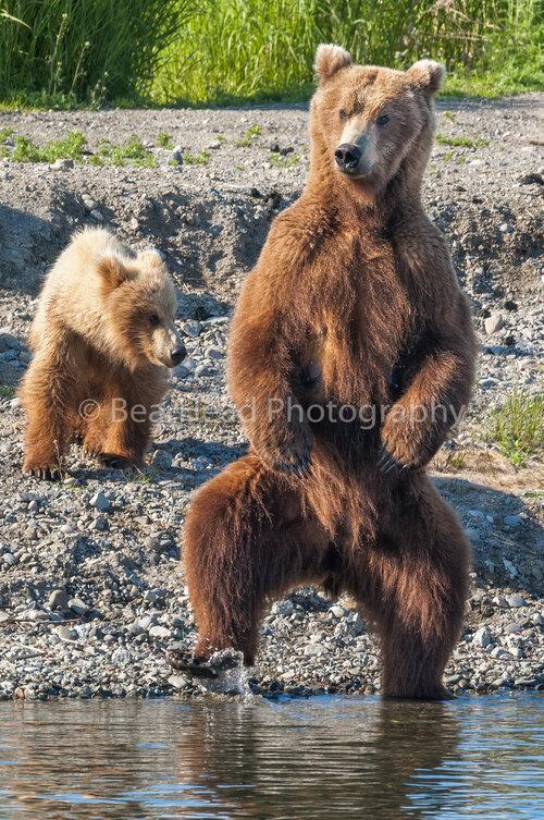 dating bear)