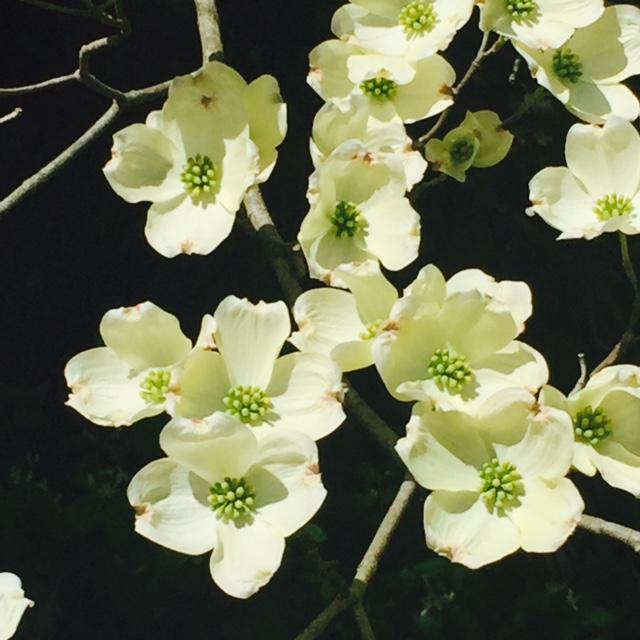 dogwood flower.jpg