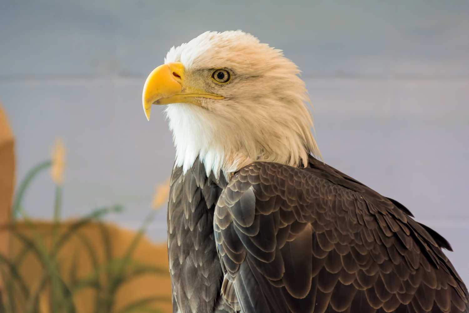 Eagle on display at the National Eagle Center in Wabasha, MN