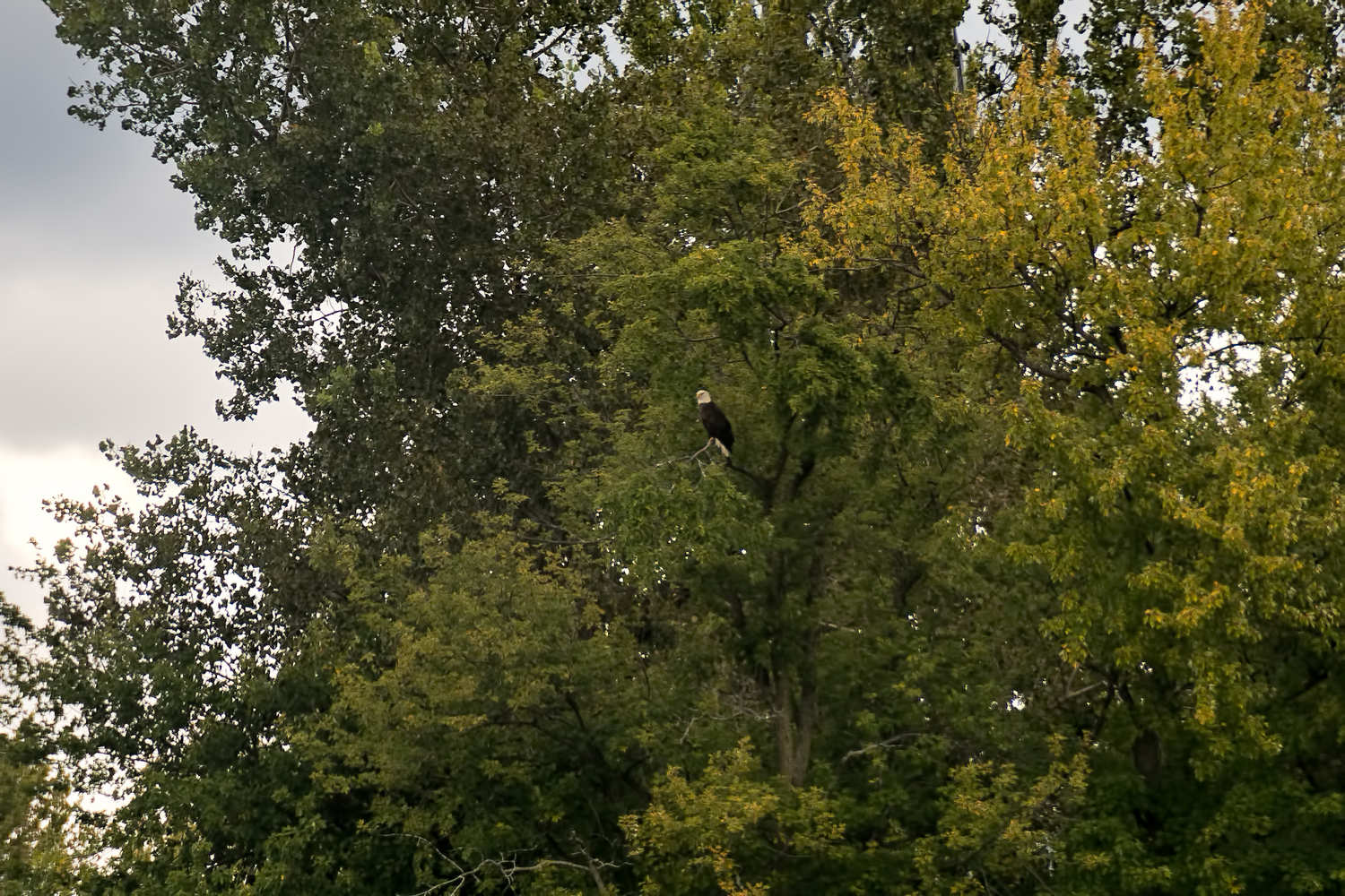 Shot of eagle across the river from Slippery's as we were eating lunch