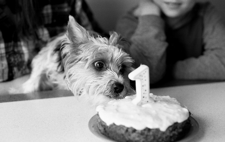 Yorkie puppy enjoying her first birthday cake.