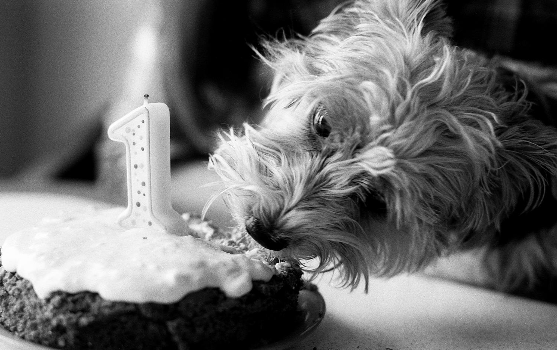 Yorkshire dog eating her birthday cake.