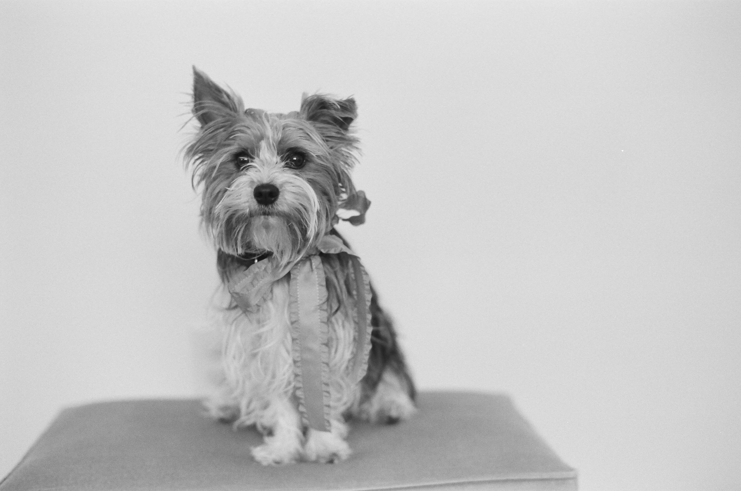 Yorshire terrier posing for a portrait.